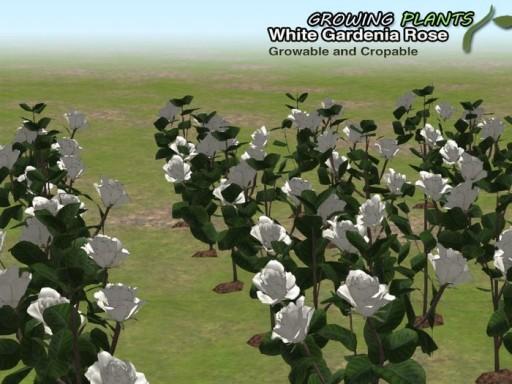 GrowingPlants_White Gardenia Rose